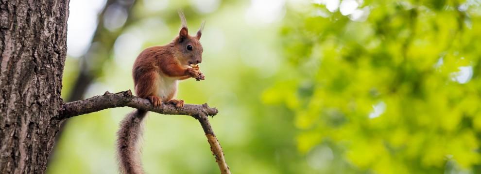 Eurasian red squirrel (Sciurus vulgaris) sitting on a branch and eating walnut