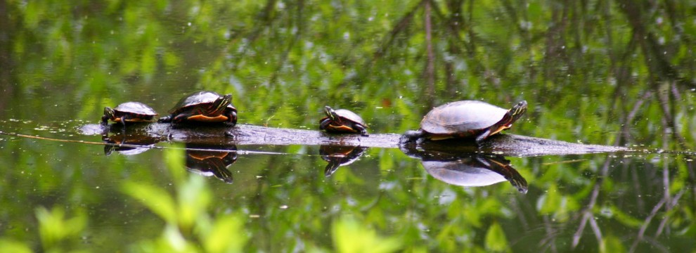 Family of turtles sunning together on a log